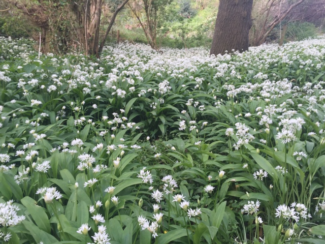 This smelt amazing, wild garlic!